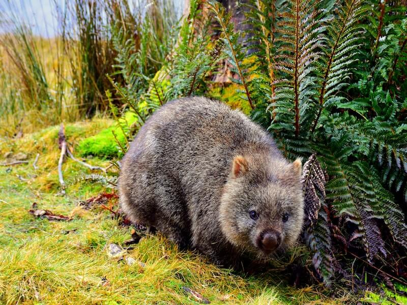 Wombat. Conservation days